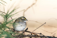 white-throated sparrow (Rebecca Wolff) Tags: winter nature virginia wildlife whitethroatedsparrow northernvirginia nottoway 2016