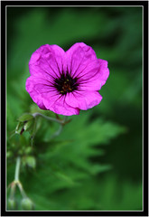 Pretty as a Picture (Audrey A Jackson) Tags: colour macro nature closeup garden purple hardygeranium canon450