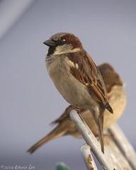 MH_050 ( Ed Lee) Tags: morning winter shadow cute bird nikon 7100 bokeh feather finch sparrow shade tele shelter teleconverter avian 200500 14x 56e