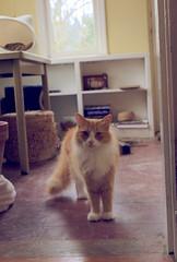 Jimmykins (rootcrop54) Tags: orange male cat fur ginger furry sweet tabby jimmy longhair sunroom