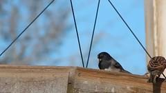 Some rude luncheon guests (starmist1) Tags: bird feeding dove birdfeeder feeder finch sparrow ringneck ringneckeddove