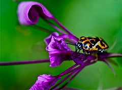 For Catchy Colors-purple,orange, and green (Dee Gee fifteen) Tags: macro nature catchycolors insect cleome purpleorangegreen harlequinstinkbug 28ccfbt