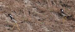 Red-wattled Lapwing (pallab seth) Tags: india colour bird nature landscape asia southeastasia migratory habitat tropics wetland ecotourism westbengal redwattledlapwing vanellusindicus riverteesta nikond7000 tamronspaf70300mmf456divcusdlens gajoldobabarrage gajaldoba