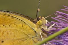 2015  Orange Sulphur (Colias eurytheme) 7 (DrLensCap) Tags: park orange chicago robert nature butterfly bug insect illinois village north center il sulphur kramer colias eurytheme