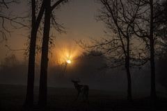 Deer and Sunrise (Klaus Ficker --Landscape and Nature Photographer--) Tags: morning usa sun fog sunrise canon morninglight kentucky deer eos5dmarkii kentuckyphotography klausficker