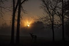 Deer and Sunrise (Klaus Ficker) Tags: morning usa sun fog sunrise canon morninglight kentucky deer eos5dmarkii kentuckyphotography klausficker