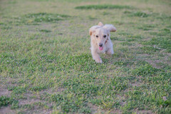 IMG_1034 (yukichinoko) Tags: dog dachshund 犬 kinako ダックスフント ダックスフンド きなこ