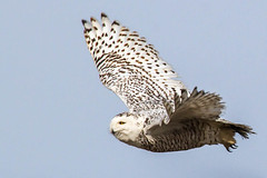 Snowy Owl: Freedom's Flight (Rick Petersohn) Tags: winter white black birds wisconsin wings flight wing beak raptor tundra owls talons snowyowl