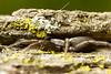 Herpyllus ecclesiasticus (Sean McCann (ibycter.com)) Tags: ecclesiasticus parsonspider herpyllus
