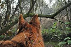 Dog view (Behni88) Tags: wood dog chien brown tree green bush woods view hound spuren free ears vert perro trail hund ohr ear pies grn braun marron bushes baum fell blick strauch busch verte frei ohren busz schferhund drzewo zielone krzaki wolnosc ucho slady dickicht uszy siersc