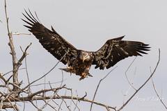 Juvenile Bald Eagle struggles to land - 19 of 27