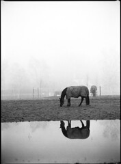 Twin Horses (Lars_Holte) Tags: pentax645 645 645n 6x45 smcpentaxfa 200mm f40 rollei superpan superpan200 mediumformat film analog analogue blackandwhite classicblackwhite monochrome filmforever filmphotography d76 larsholte homeprocessing denmark danmark kokkedal horse reflection fog mist 200iso rolleisuperpan200 120 ishootfilm pentax 120film