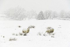 Sheep in the Snow (chrissmithphotos1) Tags: winter white snow cold color colour tree wool nature field weather animals rural season landscape outdoors countryside day looking sheep natural image outdoor farm yorkshire country seasonal group scenic large nobody farmland hills freeze fields agriculture snowfall length livestock grazing