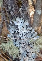 lichens (rana.way) Tags: lichen folioselichen fruticoselichen