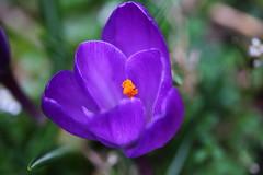 Purple Crocus (bryan_rittenberry) Tags: flower spring purple crocus