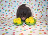 Happy Spring! (.annajane) Tags: pet cute easter spring chick pi spotty hamster chicks happyeaster syrianhamster mesocricetusauratus