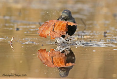 Rusty Blackbird (Americanchris) Tags: meadowlands blackbird threatenedspecies