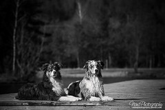 Finn & Blue (Nana-Photography) Tags: blue dogs animal carinthia aussie finn australianshepherd animalphotography nikkor70200mm nanaphotography nikond7200 aussiesarethebest aussiepower