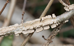 Cork wings (Steve Balcombe) Tags: uk wings cork somerset bark fungus taunton gall canker