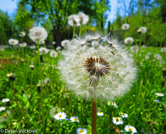 Common Dandelion (Taraxacum officinale) (Dejan Vuckovic) Tags: blue light flower macro leaves closeup living countryside head background grain fluffy dry blow dandelion crop flowering medicine common botany development herb herbal dispersal elegance blowball