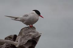 Antarctic Tern (Tim Melling) Tags: georgia south tern antarctic sternavittata timmelling
