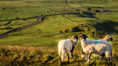 Sheep (Rifle-Coach) Tags: sunrise landscape sheep derbyshire lowsun mamtor