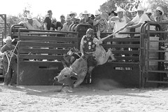 Let my tail go (Gator Andress) Tags: cowboys outside outdoors tail helmet horns rope bull dirt rodeo cowboyhat chaps chute bucking bullrider florencetx florencetexas