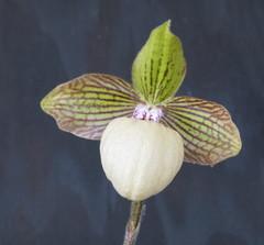 Paphiopedilum fanaticum (cieneguitan) Tags: flower flora lan ran orkid slipperorchids okid angrek anggerek