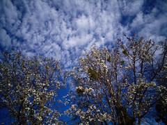 Santa Rosa Spring Blossoms