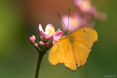 Butterfly 2016-16 (michaelramsdell1967) Tags: flowers summer plant flower color macro green love nature beautiful beauty animal closeup butterfly bug garden insect photography spring nikon natural bokeh pics wildlife butterflies insects photograph zen upclose nky