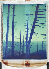 Between the Pine trees # (Papayaspoint) Tags: wild mountains nature vertical landscape coast spring liguria 4x5 pinetrees largeformat polacolor