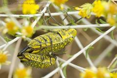 319A4214 Sulphurous jewel beetle - Julodis euphratica, UAE (Priscilla van Andel (Uploading database)) Tags: uae buprestidae julodis julodiseuphratica sulphurousjewelbeetle
