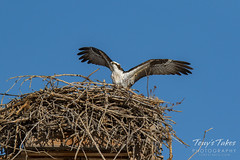 Osprey returns from Home Depot sequence - 25 of 27