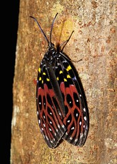 Chalcosiine Day-flying Moth (Amesia sanguiflua, Chalcosiinae, Zygaenidae) (John Horstman (itchydogimages, SINOBUG)) Tags: china macro insect moth lepidoptera yunnan zygaenidae chalcosiinae itchydogimages sinobug