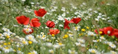 DSC_8298 (Eduardo, Bonjour a tous!) Tags: primavera amapolas