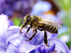 Bee On Hyacinth (Tim Niclas Marvin Mller) Tags: outdoor bee hyacinth biene hyazinthe