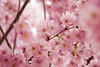 (sabrandt) Tags: pink flowers france tree outdoors spring europe geneva plumblossoms