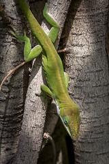 Local Lizard (helenehoffman) Tags: green reptile lizard sandiegozoo greenanole anoliscarolinensis specanimal hummingbirdaviary