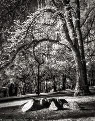 What Was Is No More (mjardeen) Tags: park blackandwhite bw white black tree monster landscape ir death washington king dof sad bokeh 85mm 9 gone stump infrared wa f2 tacoma wright jupiter a7ii 850nm landscapesshotinportraitformat