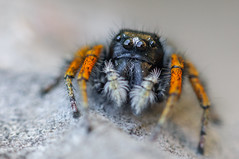 Salticidae ( Philaeus chrysops  ) (aeyuio) Tags: wild macro nature alpes bug spider nikon wildlife nikkor jumpingspider insecte araigne alpesmaritimes kenko salticidae philaeuschrysops saltique nikond90 nikon105vr araignesaltique