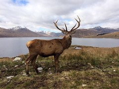 View of Loch Quoich and Knoydart mountains obscured by Red Deer stag (neilsimpson515) Tags: scotland highlands stag reddeer lochquoich iphone5s
