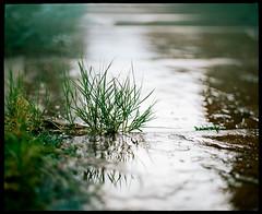 thirsty  rain  pushing through (*AndrewYoungPhoto* (writing_with_glass)) Tags: urban nature rain reflections weeds colorado moody dof sad bokeh overcast denver sidewalk rainy melancholy pentax6x7 aperturewideopen pentax67body pentaxtakumar105mm24 portra1601pushiso320