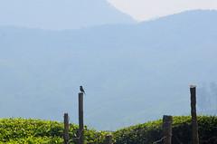 Pied bush chat. (bijindask) Tags: bird tourism bush chat kerala pied munnar