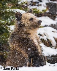 GB412 (Sam Parks Photography) Tags: autumn winter baby snow fall animal closeup standing rockies mammal cub stand nps snowy wildlife snowstorm young large headshot valley yellowstonenationalpark rockymountains wyoming tight predator snowfall blizzard coy juvenile carnivorous reproduction offspring carnivore ynp biggame firstyear parkservice grizzlybear predatory reproduce fallingsnow silvertip gye omnivorous ursidae carnivora omnivore ursine hindlegs ursusarctoshorribilis verticalorientation greateryellowstoneecosystem northamericanbrownbear cuboftheyear springcub hyperphagia