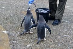 Edinburgh zoo (PhylB) Tags: penguins edinburghzoo