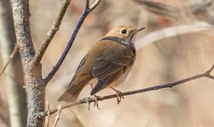 840A3116 (rpealit) Tags: bird nature water scenery wildlife gap trail national area recreation delaware hermit thrush appalichian
