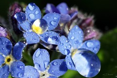 Vergissmeinnicht  / forget-me-not (4) (Ellenore56) Tags: blue light inspiration plant flower color colour detail macro reflection nature water rain garden botanical licht perception drops spring flora wasser blossom magic natur pflanze perspective drop h2o rainy bloom april droplet imagination pearl forgetmenot moment blau waterdrops blume makro blte farbe reflexion garten regen raindrop perle springtime perspektive lenz reflektion wassertropfen tropfen frhling augenblick vergissmeinnicht florescence botanik myosotis regentropfen mnnertreu trpfchen faszination  waterpearl sichtweise pflanzenwelt wasserperle scorpiongrass museohr ellenore56 sonyslta77 myosote augedesgeliebten 29042016