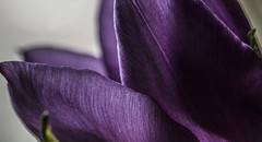 """Deep Purple"" - April 2016 (GOR44Photographic@Gmail.com) Tags: flower macro canon petals purple 100mm tulip 100mmf28 canon100mm 60d gor44"