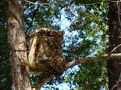 Pecan tree (alansurfin) Tags: abejas bees beehive swarm abeilles beekeeping apicultura bienen honeybees apiary apismellifera beebox