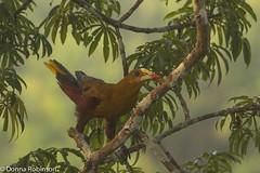 Green Oropendola - Amazon basin (Donna Hampshire) Tags: bird viridis amazonbasin oropendola psarocolius greenoropendola ecuadorbirds colourfulbirds southamericanbirds napowildlifecentre donnarobinson donnahampshire